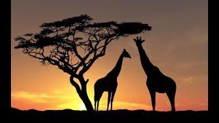 Żyrafy #3