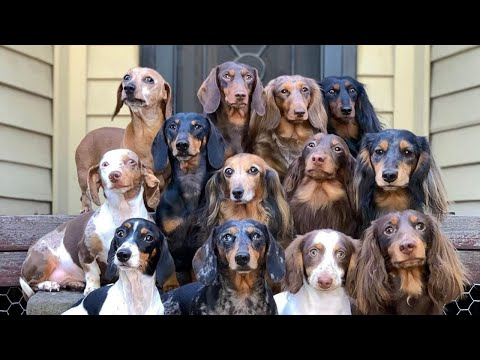 Funny Dachshund Dogs and puppies club, cute mini dachshund videos | Try not to laugh pet videos