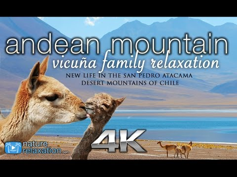 Andean Mountain Wildlife in 4K: Vicuña Baby | Nature Relaxation Instrumental Documentary