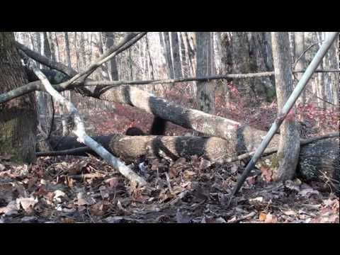 Coyote and Fisher Cat trapping