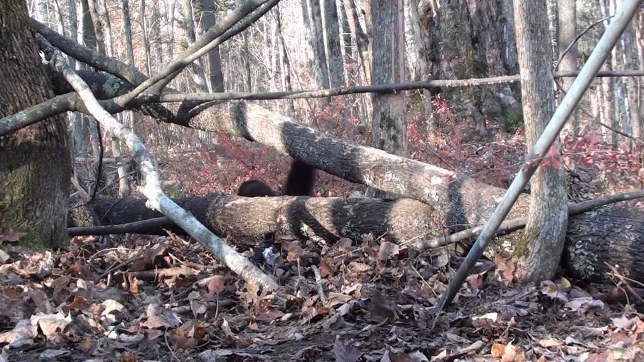 Coyote and Fisher Cat trapping - YouTube