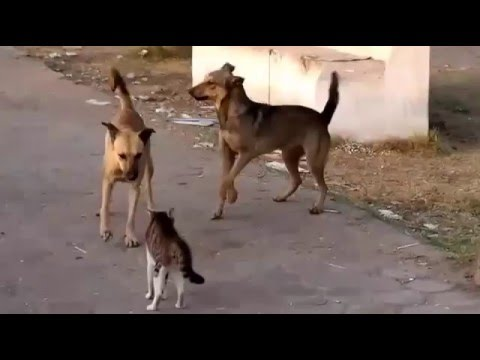 Brave Cat fights  Four Dogs - Best Cat Viral 2016
