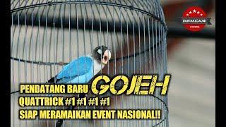PENDATANG BARU LOVE BIRD GOJEH SIAP MERAMAIKAN IVENT NASIONAL!!