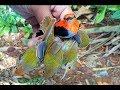 Pikat Burung Kecil Nempel Banyak Banget Cuma Pakai Mp3
