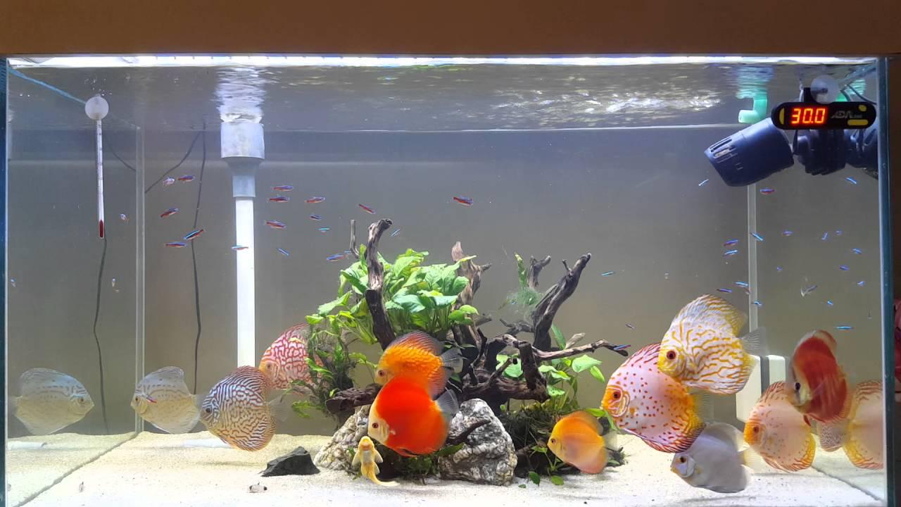 Best discus aquarium youtube for Best place to buy discus fish