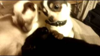 Siamese Grooming Pug