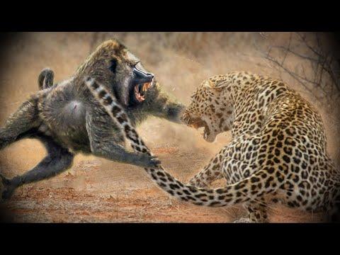 ПАВИАНЫ - Наглые африканские бандиты, кушающие антилоп и похищающие детей!
