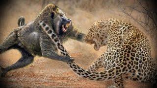 ПАВИАНЫ - Наглые африканские бандиты кушающие антилоп и похищающие детей