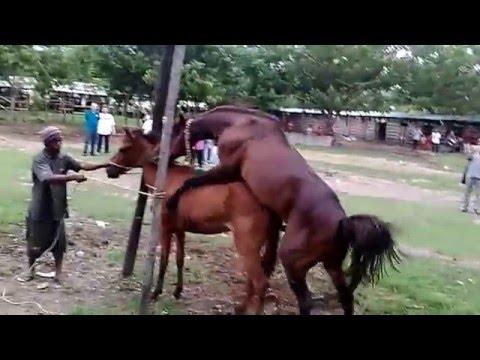 Bagaimana kuda sumbawa kawin?