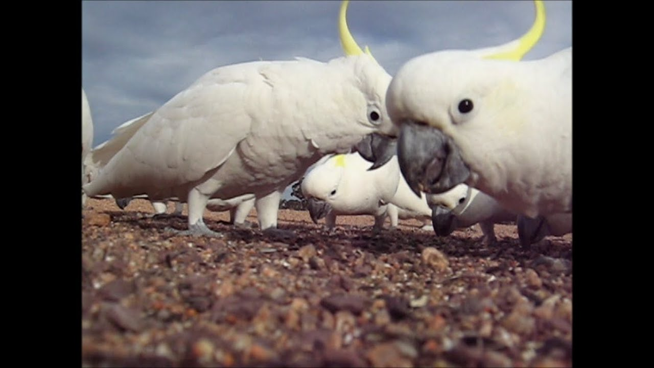 Wild Cockatoos - YouTube