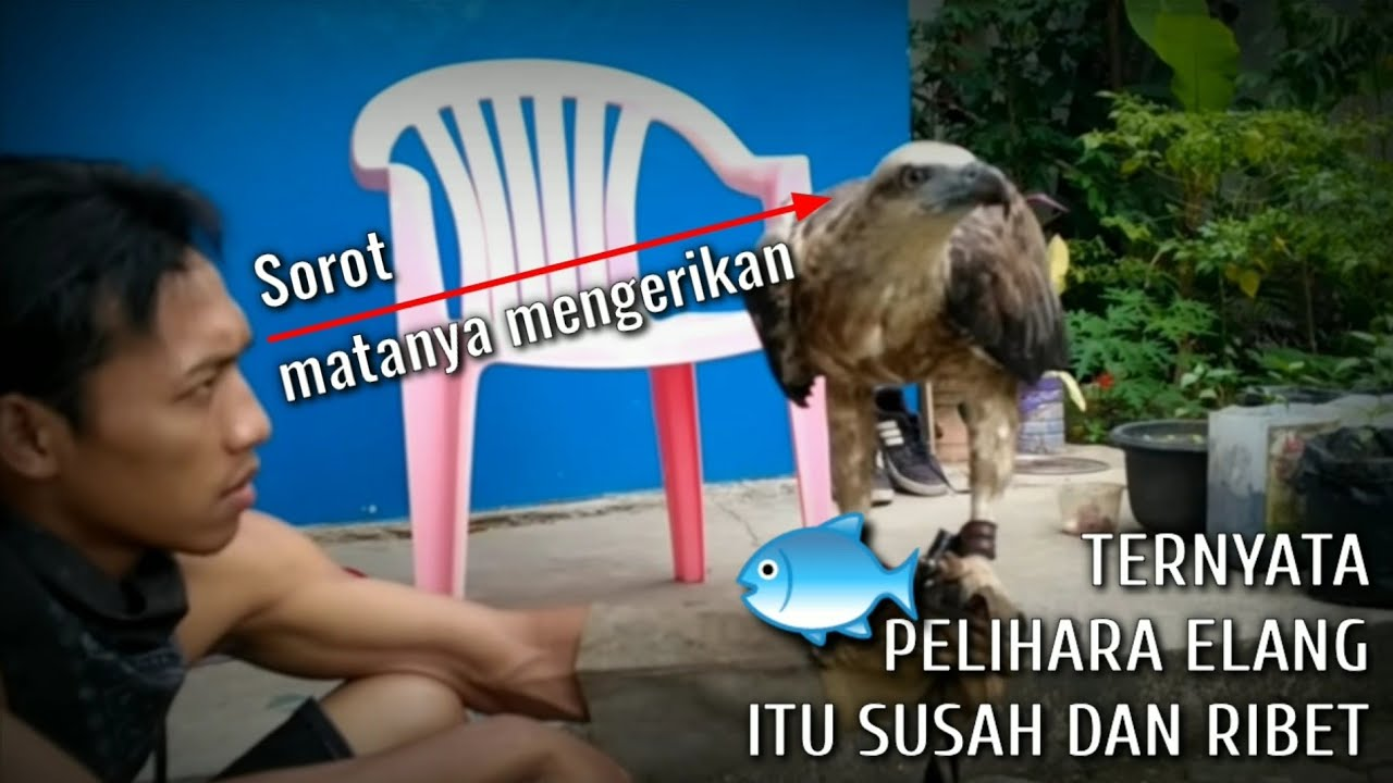 Cara Memelihara Elang Laut How To Tame The Eagle Youtube