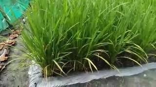 Download lagu Menanam padi di lahan pasir