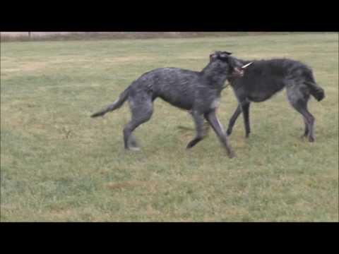 Grey Mountain Deerhound 2016 12 11
