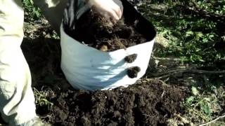 Harvesting Yacons (yucca) from a grow bag Quick Tip The Wisconsin Vegetable Gardener