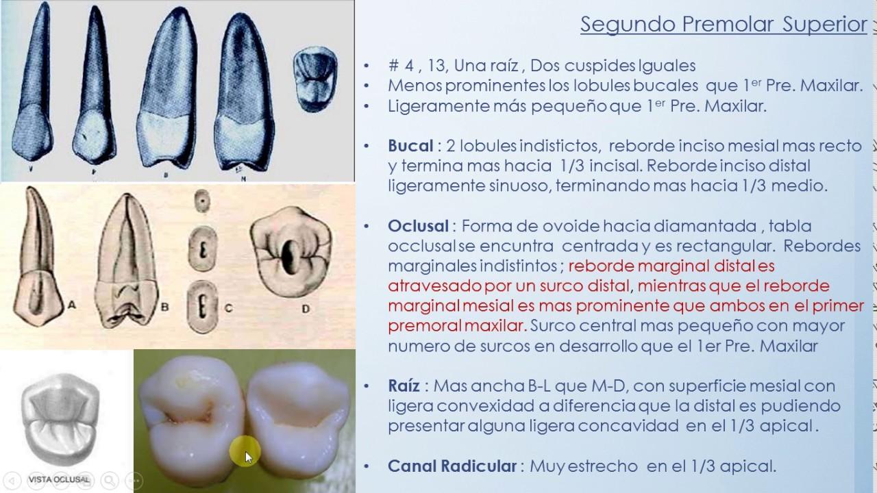 Segundo Premolar Maxilar - YouTube