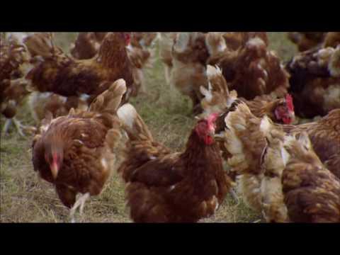 Avian flu. BBC Countryfile