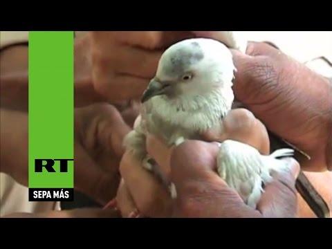 """Capturan en la India a una paloma """"sospechosa de espiar para Pakistán"""""""
