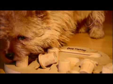 Norwich Terrier & Nina Ottosson's Dog Fighter