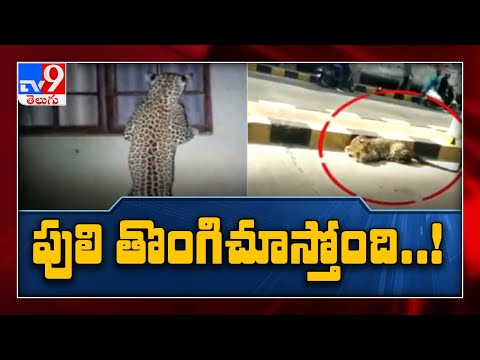 చిరుత తొంగిచూస్తోంది : Hyderabad - TV9