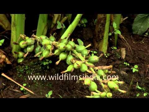 Cardamom plantation in Kerala