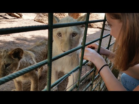 Freedom for young lioness Elsa - Canned hunting - part 1