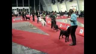 Bob Labrador Retriever On Special Dog Show Zagreb 2012