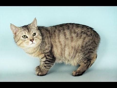 Gato Cymric / Raza de Gato