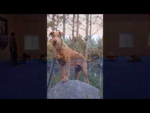 Roscoe (Irish Terrier) Boot Camp Dog Training Video