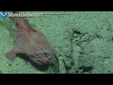 Okeanos dive off Howland Island at 600 meters