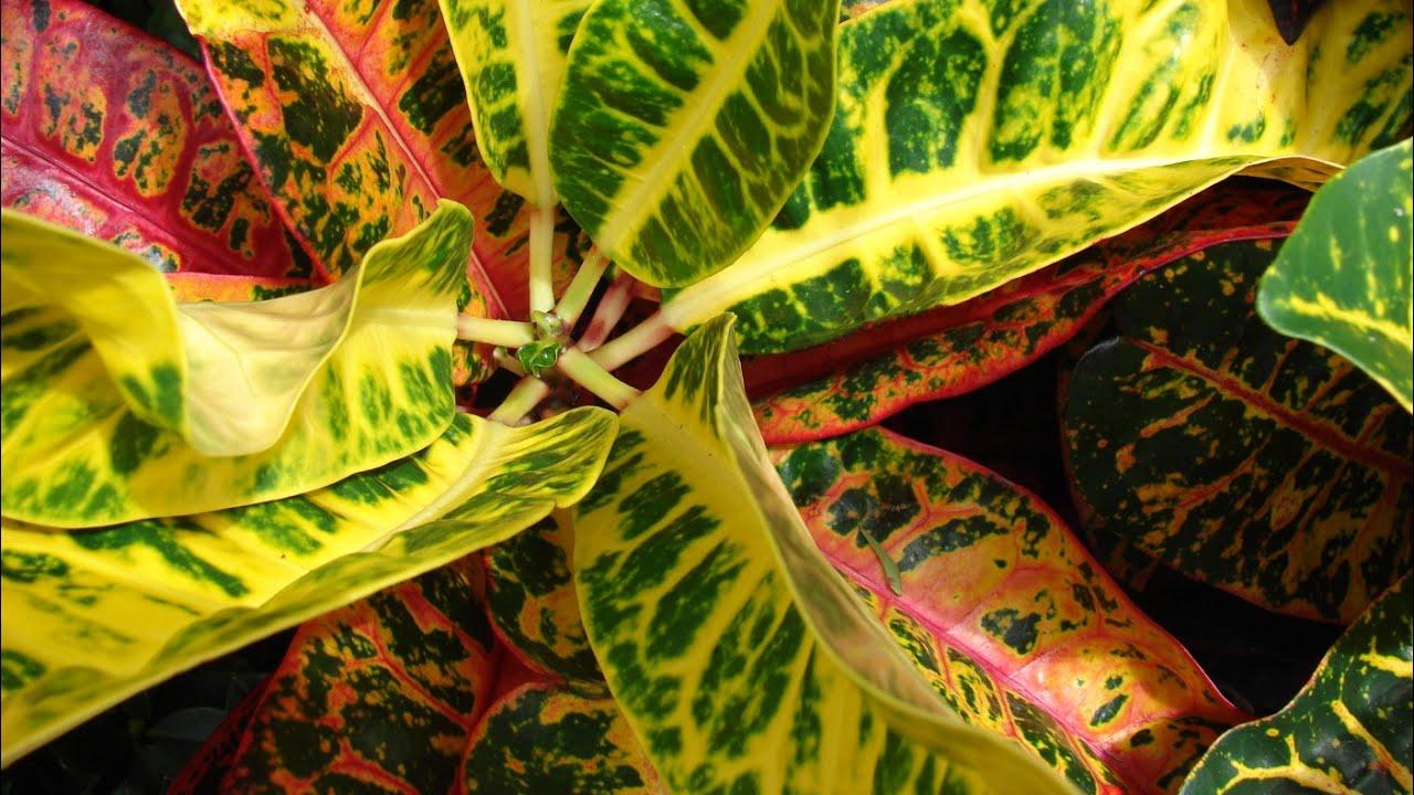 Care of Croton plant -...