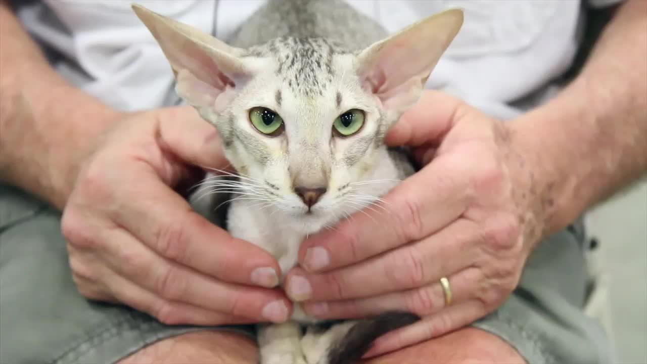 Cat Breed Spotlight Oriental