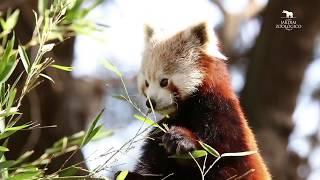 Nascimento de Panda-vermelho (Ailurus fulgens)