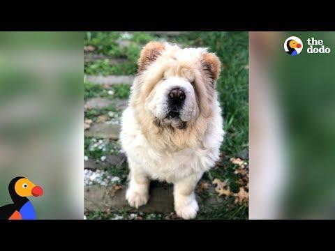 Dog Looks Exactly Like A Big Teddy Bear   The Dodo