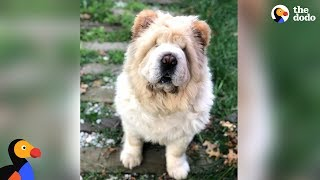 Dog Looks Exactly Like A Big Teddy Bear | The Dodo