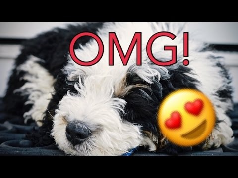 GETTING MY PUPPY! (Mini Bernedoodle)