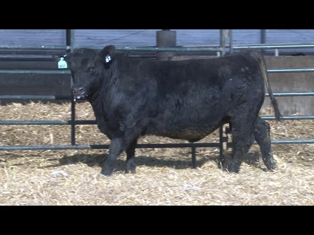 Schiefelbein Angus Farms Lot 87