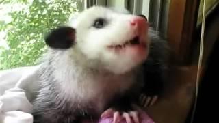 Клубника - любимое лакомство опоссумов