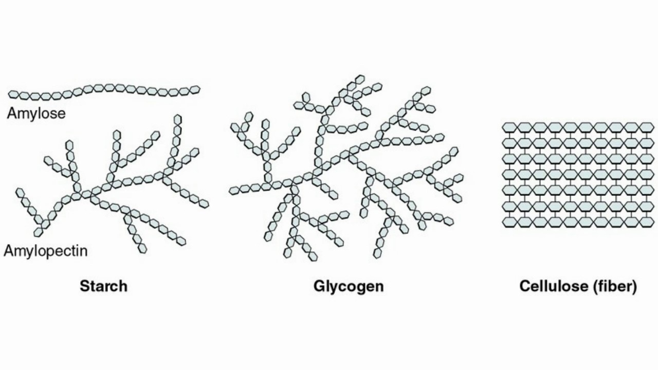 difference starch and glycogen