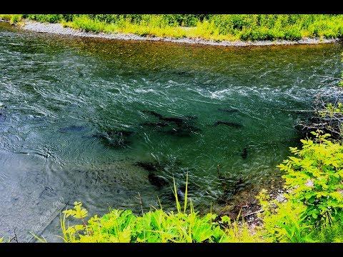 Salmon In Alaska. A Real Honey Hole!