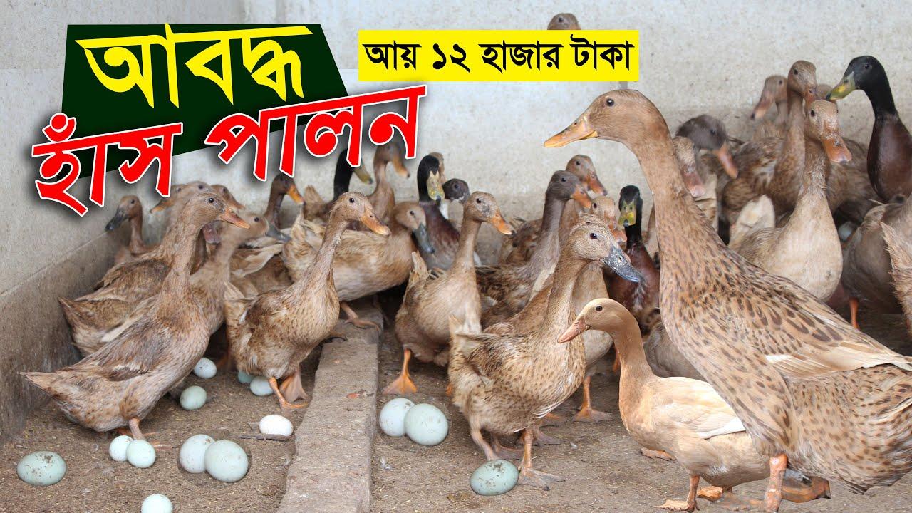 Download আবদ্ধ পদ্ধতিতে হাঁস পালন করে মাসে আয় করছেন 12 হাজার টাকা | Hash palon | Duck farm in bangladesh