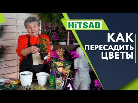Пересадка комнатных растений - полезные советы  ХИТСАД ТВ