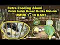 Pakan Extra Fooding Alami Untuk Induk Kenari Yang Sedang Meloloh Anakan Kenari Umur   Hari  Mp3 - Mp4 Download