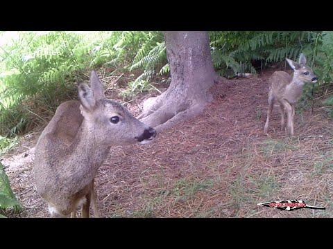 Unha cámara nunha árbore de Baralla capta durante un ano o día a día da fauna local