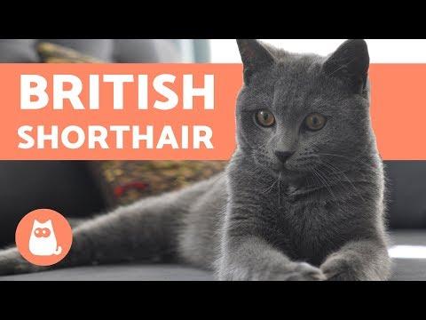British Shorthair - CARACTÈRE ET COMPORTEMENT