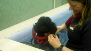 Fifi The Toy Poodle Swimming At Adams Canine Hydrotherapy Pool.