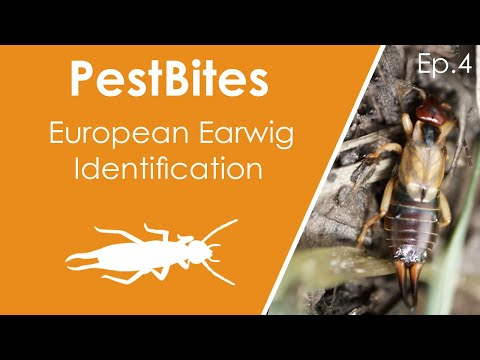 European Earwig Identification And Life Cycle | PestBites By Cesar