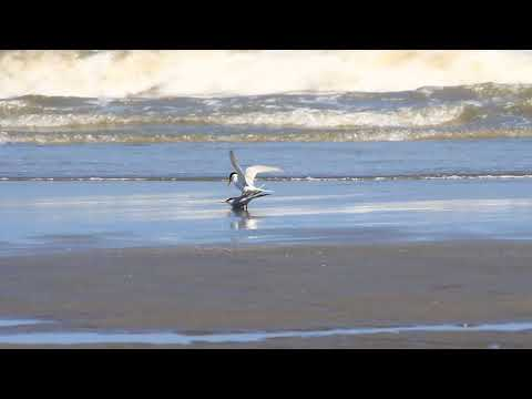 The Little tern mating for one minute long , 小燕鷗交配一分鐘之久