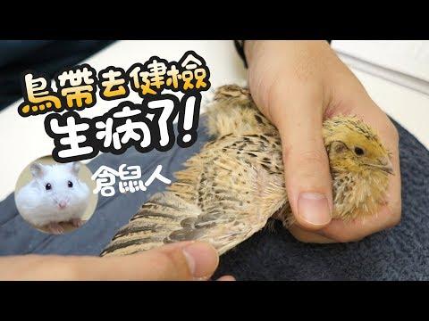 《倉鼠人》鵪鶉健檢,生病了!(鵪鶉飼養分享)