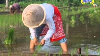 Tandur tanam padi tradisional