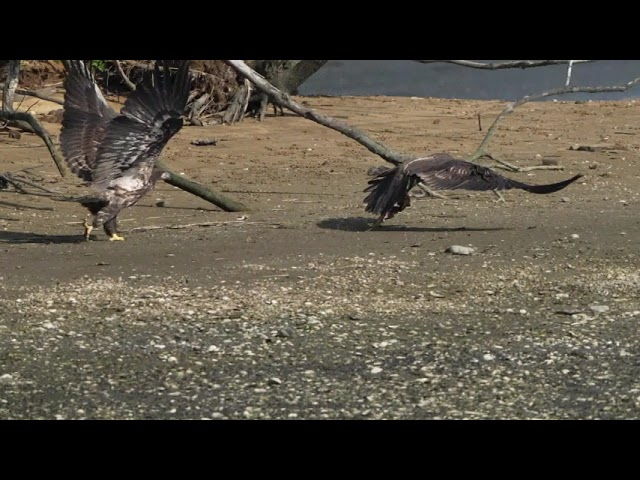 Did C8 get away with his meal?  Bald Eagles of Centerport C8 & C9